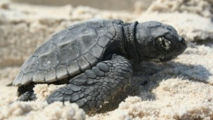 Will he make it to the sea? With help from the Israel Sea Turtle Rescue Center his chances are much higher.