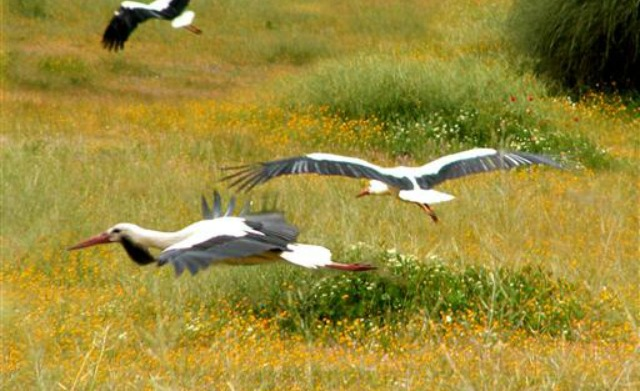 Migrant storks in Israel.