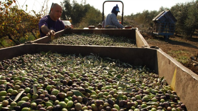 Olives harvested for oil at Karmey Yosef. Photo by Gili Yaari / Flash 90