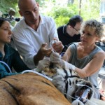 Tiger being treated