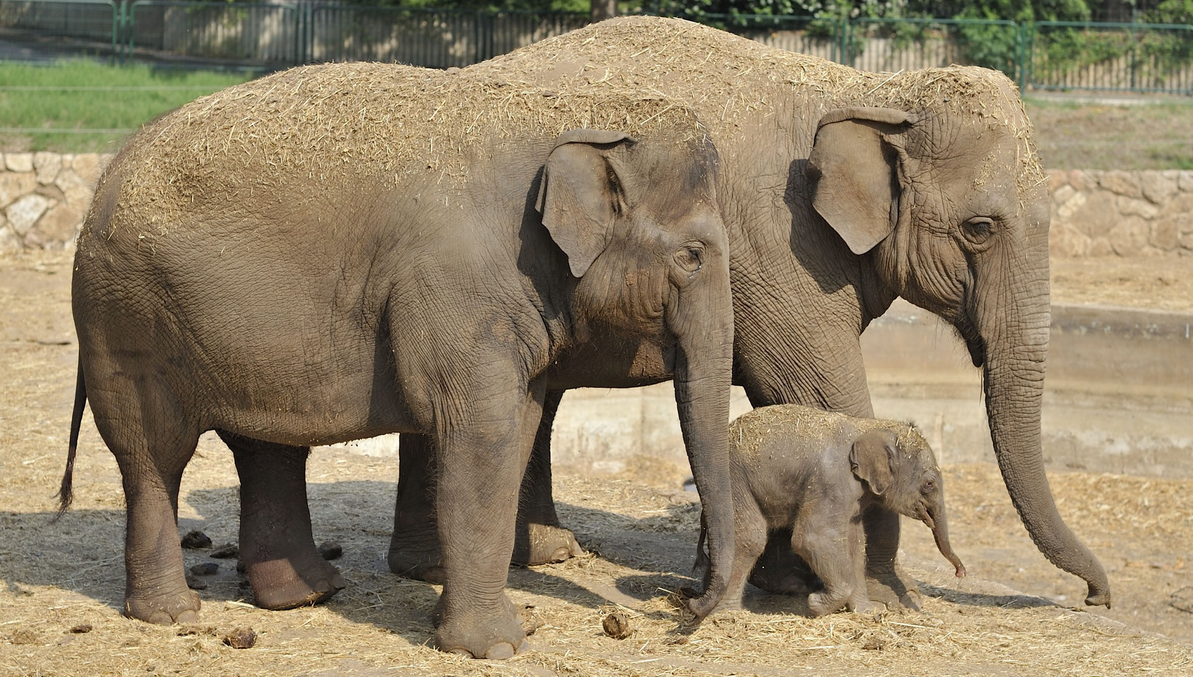 Watch elephants protect young during air raid siren ...