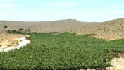 Carmey Avdat vineyards. Photo by Tal Gluck