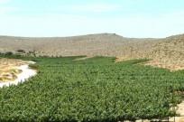 Carmey Avdat vineyards. Photo by Tal Gluck