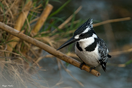 pied_kingfisher_268x178jpg