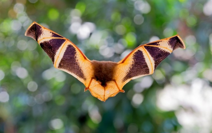 Reciprocal eavesdropping can beckon hungry bats from several hundred feet away. (Shutterstock)