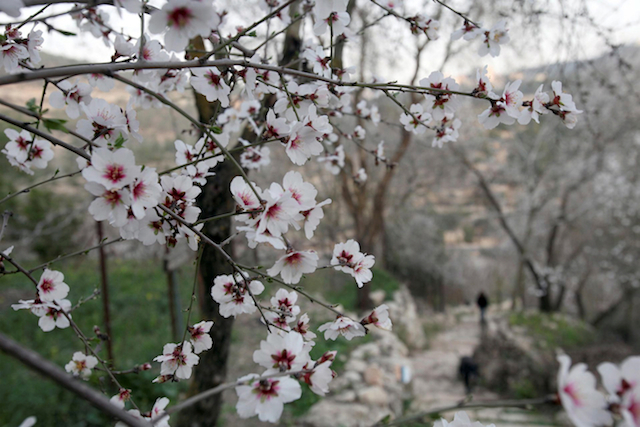 This week's photo of a blossoming almond tree was taken by Flash90.