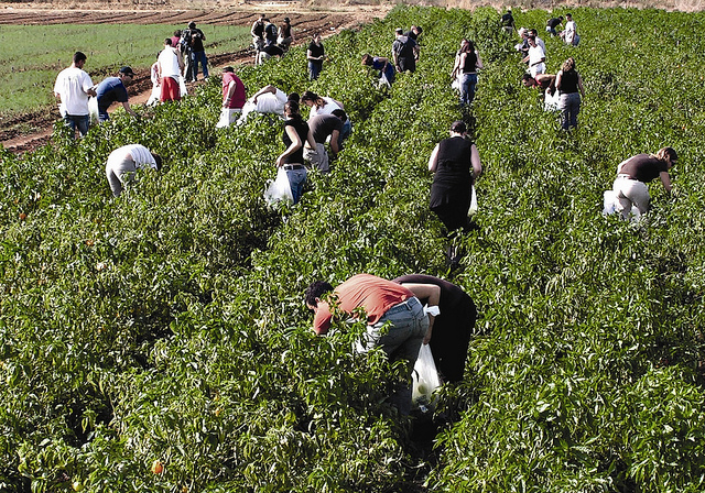 Leket Israel volunteers pick produce for distribution to the needy.