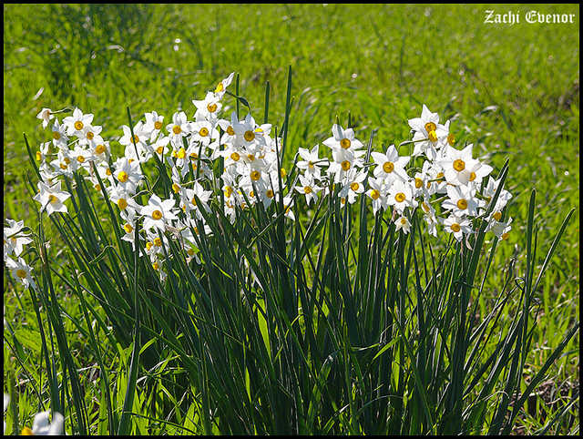 Valley of the Narcissus Flowers. Photo by Zachi Evenor