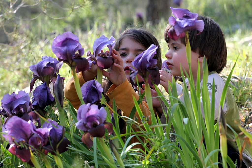 Israel's famous Gilboa Iris. Photo by Yossi Zamir/Flash90