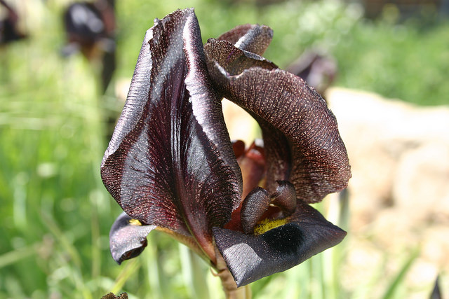 An iris in Duda'im Forest. Photo by Shmuel Shantall