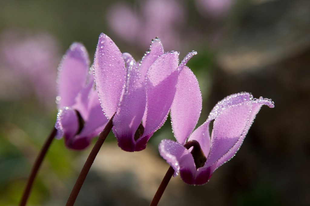 Close-up of cyclamen. Photo by Yehoshua Halevi