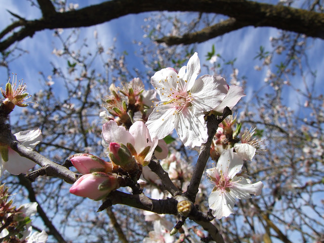 An almond in bloom. Photo courtesy of Tourism Ministry