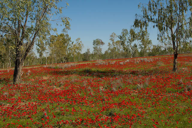 Anemones in Ruhama Forest. Photo by Yehoshua Halevi