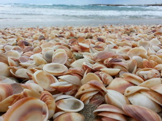 Shells on the Haifa seashore. Photo by Shay Levy/Flash90