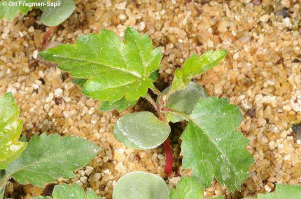 Jerusalem-Botanical-Gardens-endangered_Eriolobus trilobatus-seedling