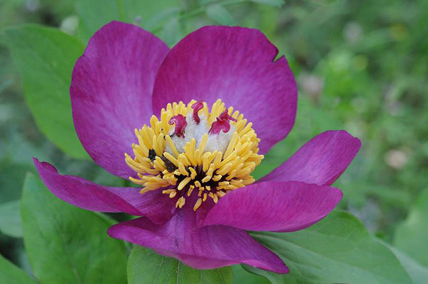 Jerusalem-Botanical-Gardens-endangered_Paeonia mascula