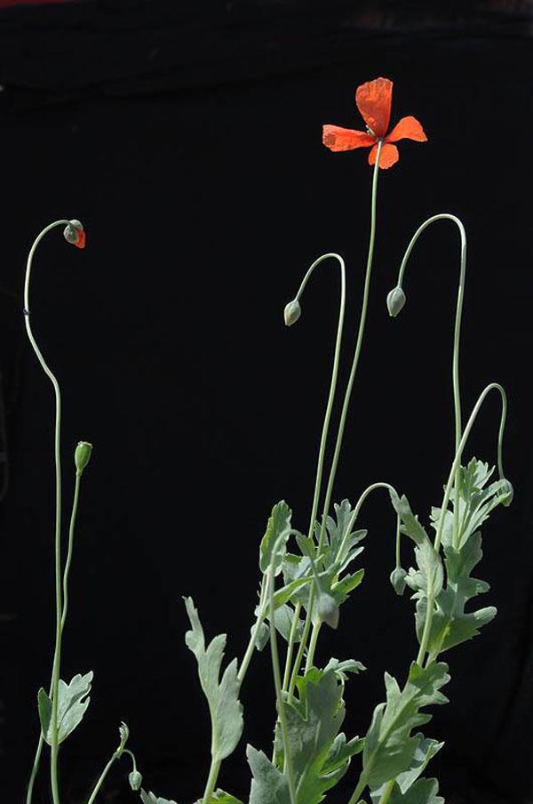 Jerusalem-Botanical-Gardens-endangered_Papaver decaisnei-blooming