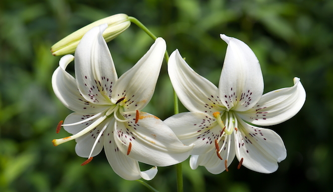 Image result for in bloom lilies
