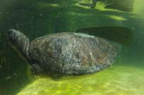 The handicapped turtle could drown without his prosthetic flipper.