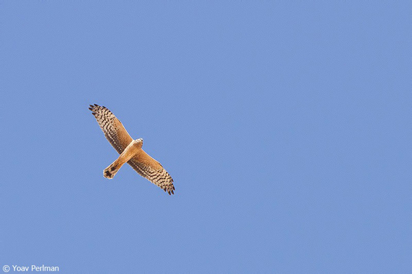 Champions-of-the-Flyway_Yoav-Perlman_pallid harrier