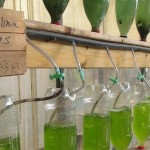 Spirulina-growing experiment at the Greenhouse.