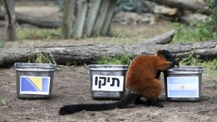 Tasty predictions by Max the lemur. (Oz Moalem/Yedioth Aharonot)