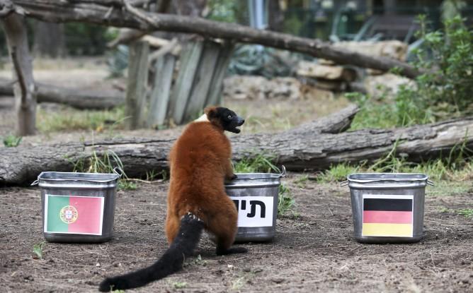 Max the red ruffed lemur makes World Cup predictions at the Ramat Gan Safari. (Oz Moalem/Yedioth Aharonot)