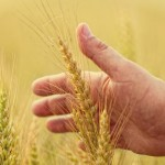 Wheat is one of the endangered crops. Image via Shutterstock.com