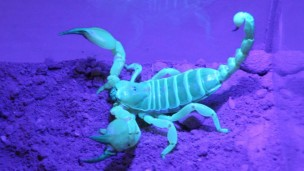 A Large-Clawed Scorpion (Scorpio maurus palmatus).  (Photo Credit: Berry Pinshow)