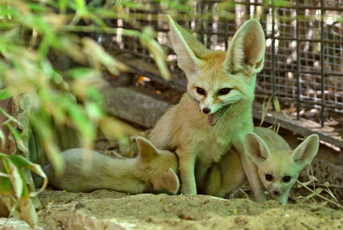 Penny guards her fennec fox kits at the Ramat Gan Safari. (Tibor Jager)