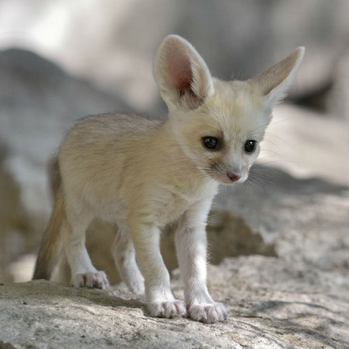 One of the newly born fennec fox kits. (Tibor Jager)