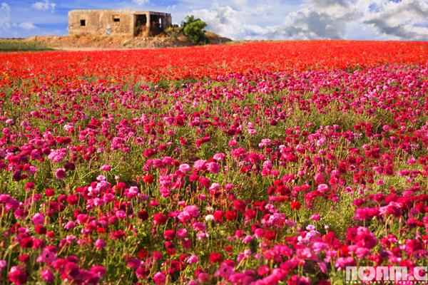 Noam-Chen_flowers-field-southern-israel
