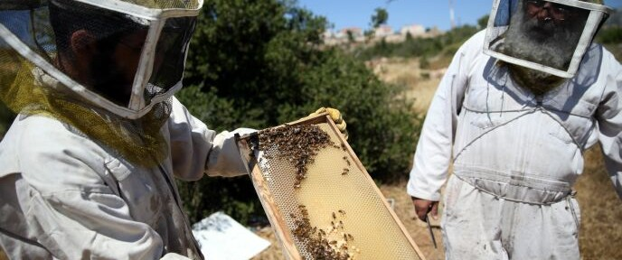 From left, beekeepers at Hebron Honey tend their honeycombs. Photo by Nati Shohat/FLASH90