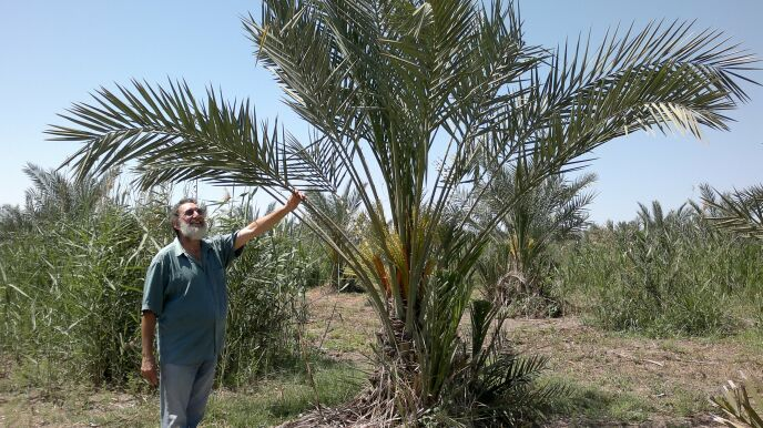 A guide showing the organic date palms at Sde Eliyahu.