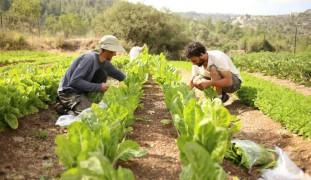 Hand-harvesting at Kaima.