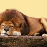 We bet even this sleeping lion has clicked on the Israel Police cover of the song. Image via Shutterstock.com