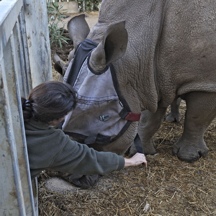 Neta Gueta of the Zoological Center of Tel Aviv-Ramat Gan puts a face mask on Tanda the rhino. (Tibor Yager/Ramat Gan Safari)