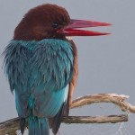 Pic of the Week – Kingfisher
