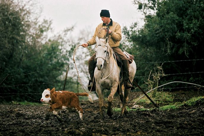 An Israeli cowboy at work on Kibbutz Merom Golan. Photo by Moshe Shai, Flash90.