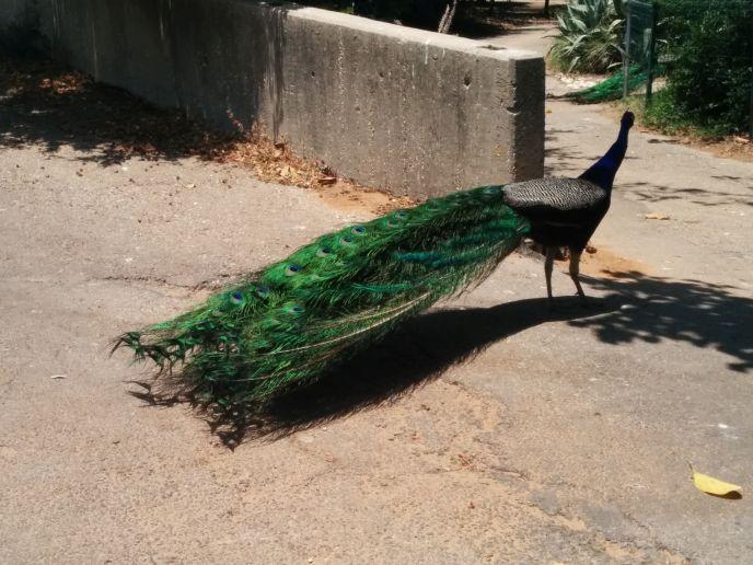 Peacocks roam freely.