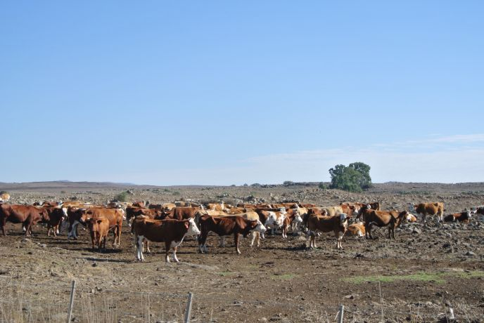 Cattle roam 8,400 acres at Kibbutz Merom Golan. Photo by Seth Frantzman