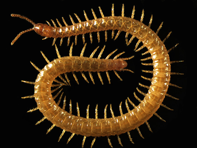 Strigamia maritima centipede reveals how life evolved on our planet.