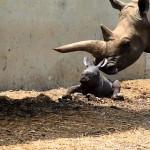 Rare white rhino born at Ramat Gan Safari