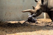 Rare white rhino born at Ramat Gan Safari
