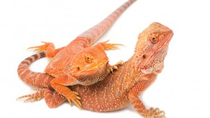 Reptiles that are sexually mature early on are less likely to make it to old age. (Shutterstock.com)