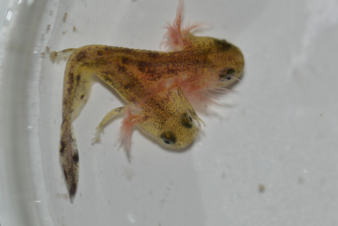 Salamanders act as a signal for the general health of  the environment. (Photo credit: Dr. Shai Levy, University of Haifa)