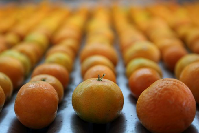Almost 30% of fruits like Jaffa oranges are lost to wastage on route to the customer. Photo by Yaakov Naumi/FLASH90