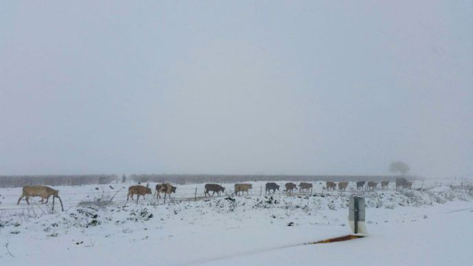 Cows walking in the snow-covered landscapes in Golan Heights,  January 07, 2015. Photo by Golan Council Spokesperson/FLASH90