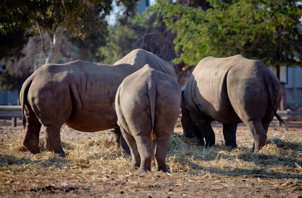 Rhinos at the Ramat Gan safari. Photo by Moshe Shai/FLASH90