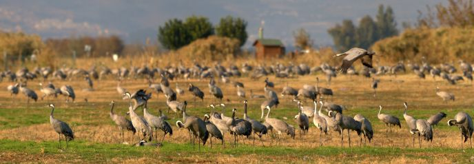 Migrating cranes in the Hula Valley.